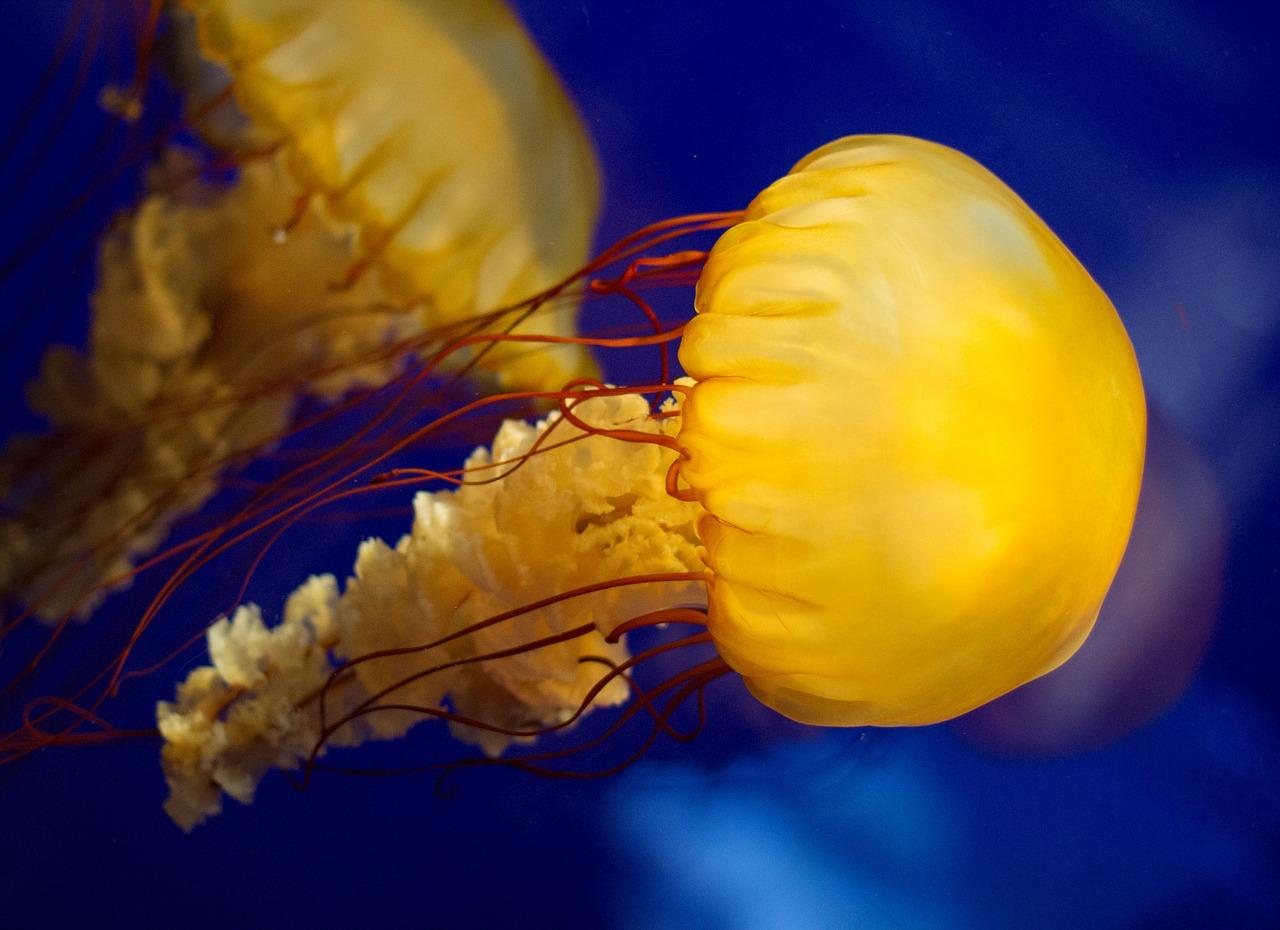 Aumentano le meduse nei nostri mari aquolina by finpesca for Cucinare meduse